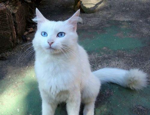 Gatinha desaparecida da Rua Kirk Jerônimo em Ouro Preto-MG deixa família entristecida